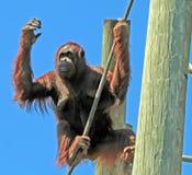 Orang-Utan, der seine Finger zählt stockfoto