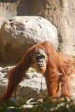 Orang-Utan, der unter Bäumen geht Lizenzfreie Stockfotos