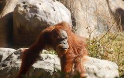 Orang-Utan, der unter Felsen geht Lizenzfreie Stockfotos
