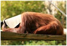 Orang-Utan, der Verstecken spielt Stockfoto