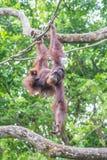 Orang-Utan, der vom Baumast hängt Lizenzfreie Stockbilder
