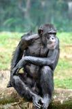Orang-Utan der wild lebenden Tiere Lizenzfreies Stockbild