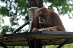 Orang-Utan der wild lebenden Tiere Lizenzfreie Stockfotografie
