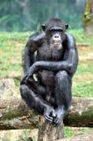 Orang-Utan der wild lebenden Tiere Stockfotografie