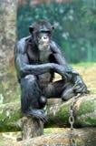 Orang-Utan der wild lebenden Tiere Lizenzfreie Stockfotos