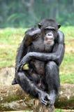 Orang-Utan der wild lebenden Tiere Stockbild