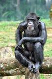 Orang-Utan der wild lebenden Tiere utan Lizenzfreie Stockfotos