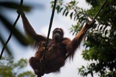 Orang-Utan, der zusammen mit zwei Kindern hängt Stockfotografie