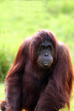 Orang utan eating Stock Photography