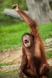 Orang-Utan in einem malaysischen Zoo lizenzfreie stockfotos