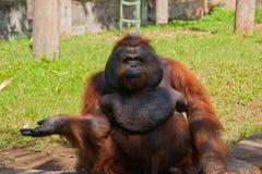 Orang-Utan in einem Zoo Lizenzfreies Stockfoto