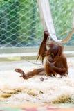 Orang-Utan an einem Zoo, der auf Stroh sitzt Stockbild