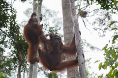Orang-Utan Familie, die in den Bäumen auf ihren starken Tatzen (Indonesien, stillsteht) Lizenzfreie Stockbilder