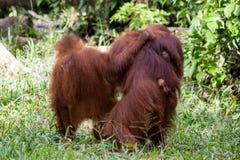 Orang-Utan Familie im Wald in Borneo Lizenzfreies Stockbild