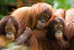 Orang Utan Family Stock Photo