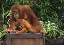 Orang Utan Family Royalty Free Stock Image
