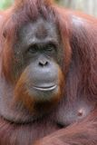 Orang utan female Royalty Free Stock Image