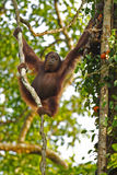 Orang Utan in Fig. This image shows a relatively young male Orang Utan in the forrest of Borneo Royalty Free Stock Photography