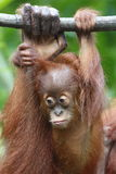 Orang Utan 6 Royalty Free Stock Photo