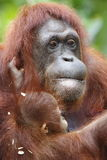 Orang Utan 9 Royalty Free Stock Photography