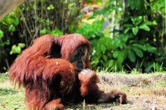 Orang-Utan, großer Affe Stockfoto