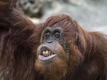 Orang-Utan großer Affe Lizenzfreie Stockfotografie