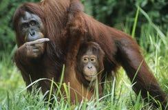 Orang-Utan halten jung im Gras Stockfotos