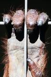 Orang-Utan Hand auf Zookäfig-Stahlstangennahaufnahme Lizenzfreies Stockbild