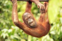 Orang-Utan hanging from rope. Sepilok Rehabilitation Centre, Sabah, Malaysia Royalty Free Stock Photos