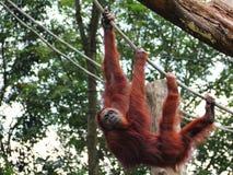 Orang utan heraus hängen Lizenzfreies Stockbild