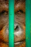 Orang-Utan hinter Gittern Lizenzfreie Stockfotografie