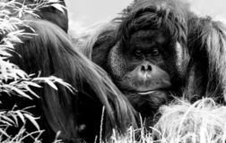 Orang Utan, Zoo Vienna royalty free stock photography