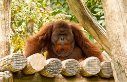 Orang-Utan im chiangmai Zoo Thailand Stockfotos