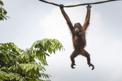 Orang-Utan im Dschungel von Borneo Indonesien Stockbilder