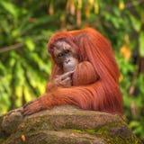 Orang-Utan im Singapur-Zoo Stockfotos