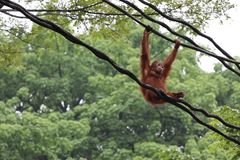 Orang-Utan im Singapur-Zoo Lizenzfreies Stockfoto