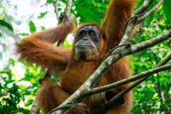 Orang-Utan im tropischen Regenwald Sumatra, Indonesien Stockbilder