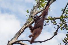 Orang-Utan im Wald in Borneo Stockfotografie