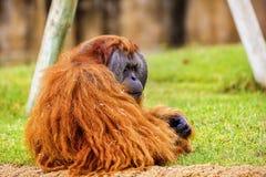 Orang-Utan im Zoo Stockfotografie