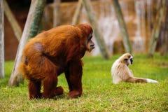 Orang-Utan im Zoo Lizenzfreie Stockbilder