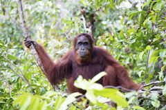 Orang-utan Stock Photography