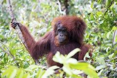 Orang-utan. An orang-utan in its native habitat. Rainforest of Borneo royalty free stock photography