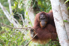Orang-utan. An orang-utan in its native habitat. Rainforest of Borneo stock photo