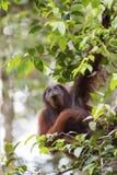 Orang-utan. An orang-utan in its native habitat. Rainforest of Borneo royalty free stock photo