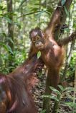 Orang-Utan Junges auf dem Baum Stockbild