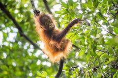 Orang-Utan Junges auf dem Baum Stockfoto
