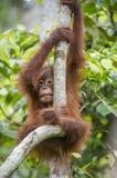 Orang-Utan Junges auf dem Baum Stockfotografie