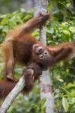 Orang-Utan Junges auf dem Baum Lizenzfreie Stockbilder