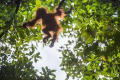 Orang-Utan Junges auf dem Baum Babyorang-utan (Pongo pygmaeus) Das Jungsschattenbild eines Orang-Utans in der grünen Krone von Bä Lizenzfreie Stockbilder