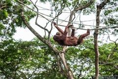 Orang-Utan klettert auf Seil Lizenzfreie Stockfotografie